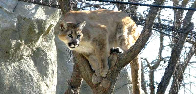 Calm Zoo - Mountain Lion